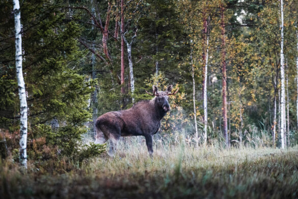 Our wild nature is abundant. This image shows Estonia's largest mammal, the elk, near the Viidumäe Nature Reserve. Viidumäe is also the most thickly forested region on the island. Photo: Priidu Saart