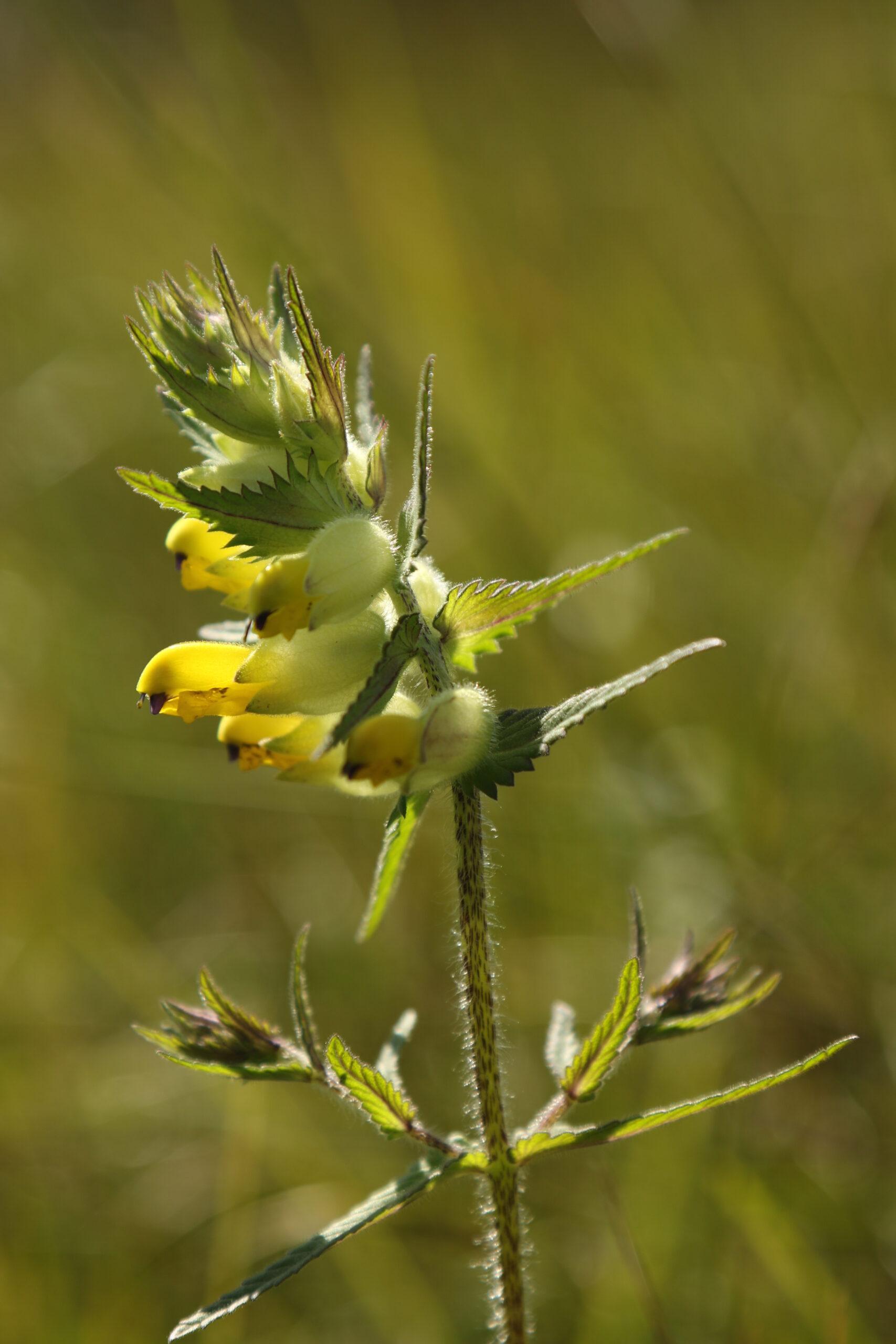 Saaremaa robirohi (Rhinanthus osililensis) on siinsetes lubjarikastes madalsoodes tekkinud endeemne liik. Foto: Triin Reitalu