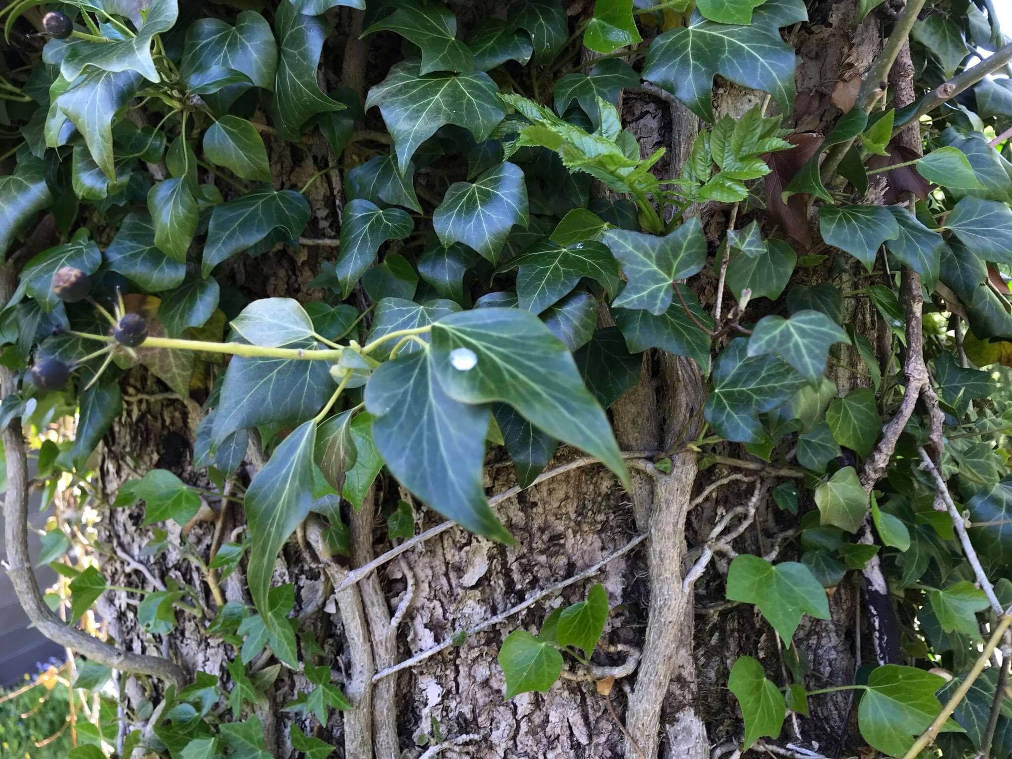 Luuderohi õitseb septembris ja viljad valmivad kevadeks. Foto: Margit Kõrvits