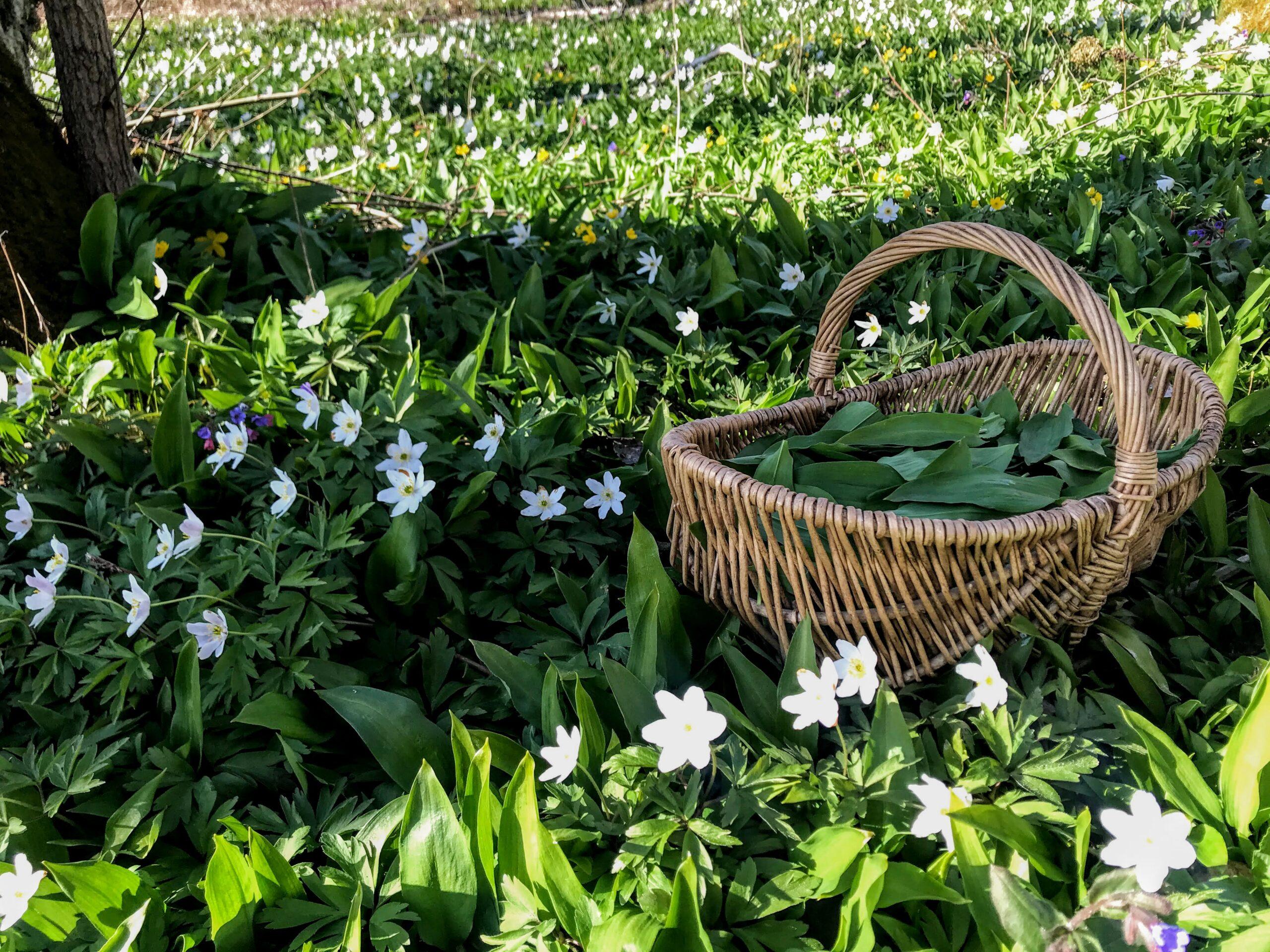 Wild garlic (Allium ursinum) is a very popular springtime herb. Photo: Margit Kõrvits