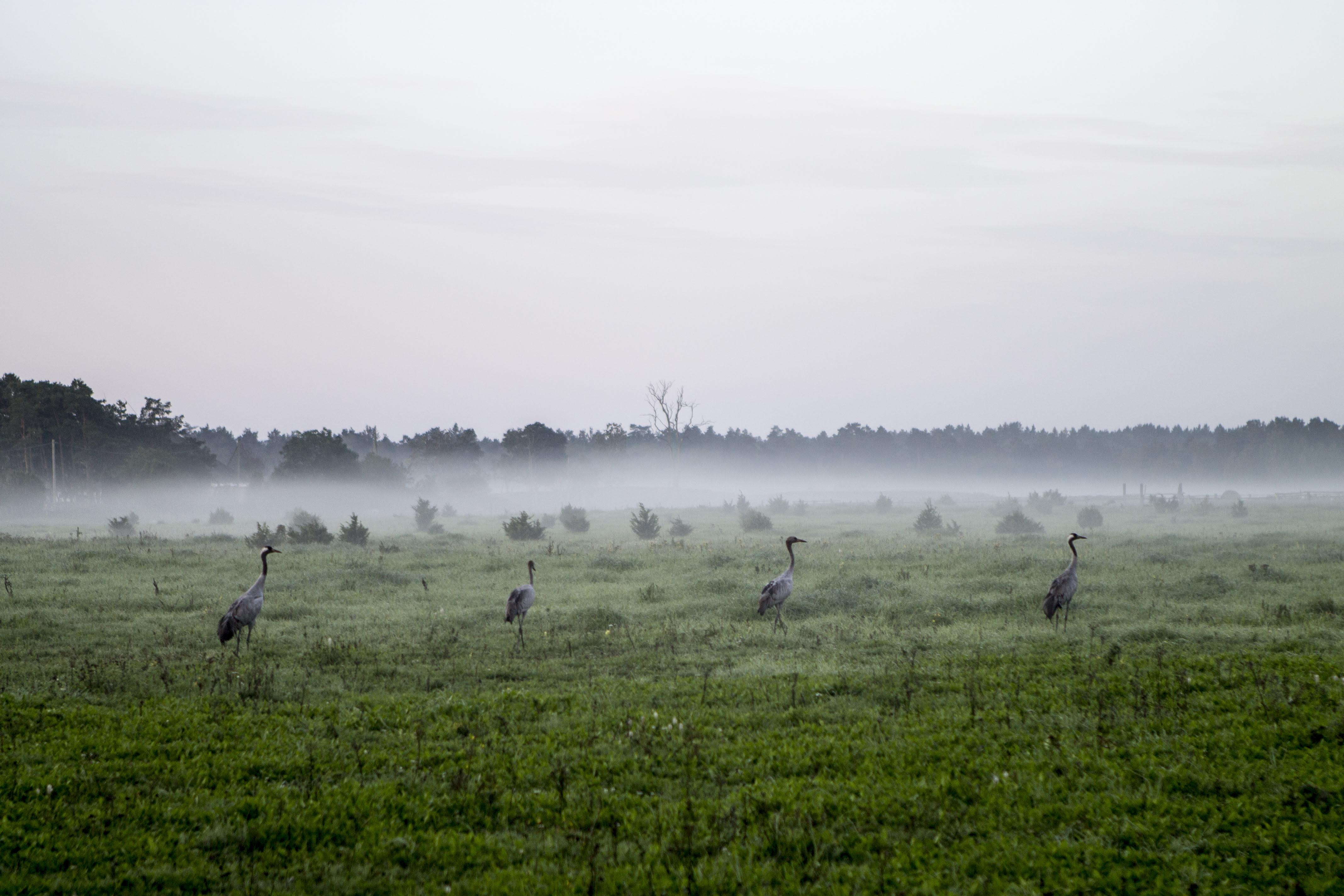Saaremaa is a pradise for bird watching