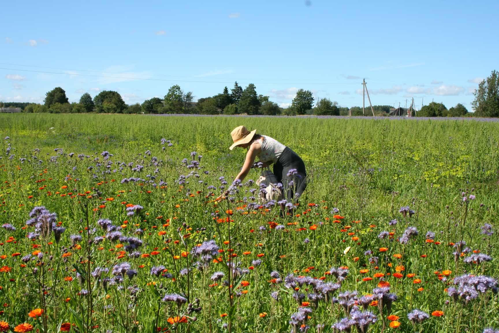 Naine korjamas taimi Natura Siberica Saaremaa farmi aladelt