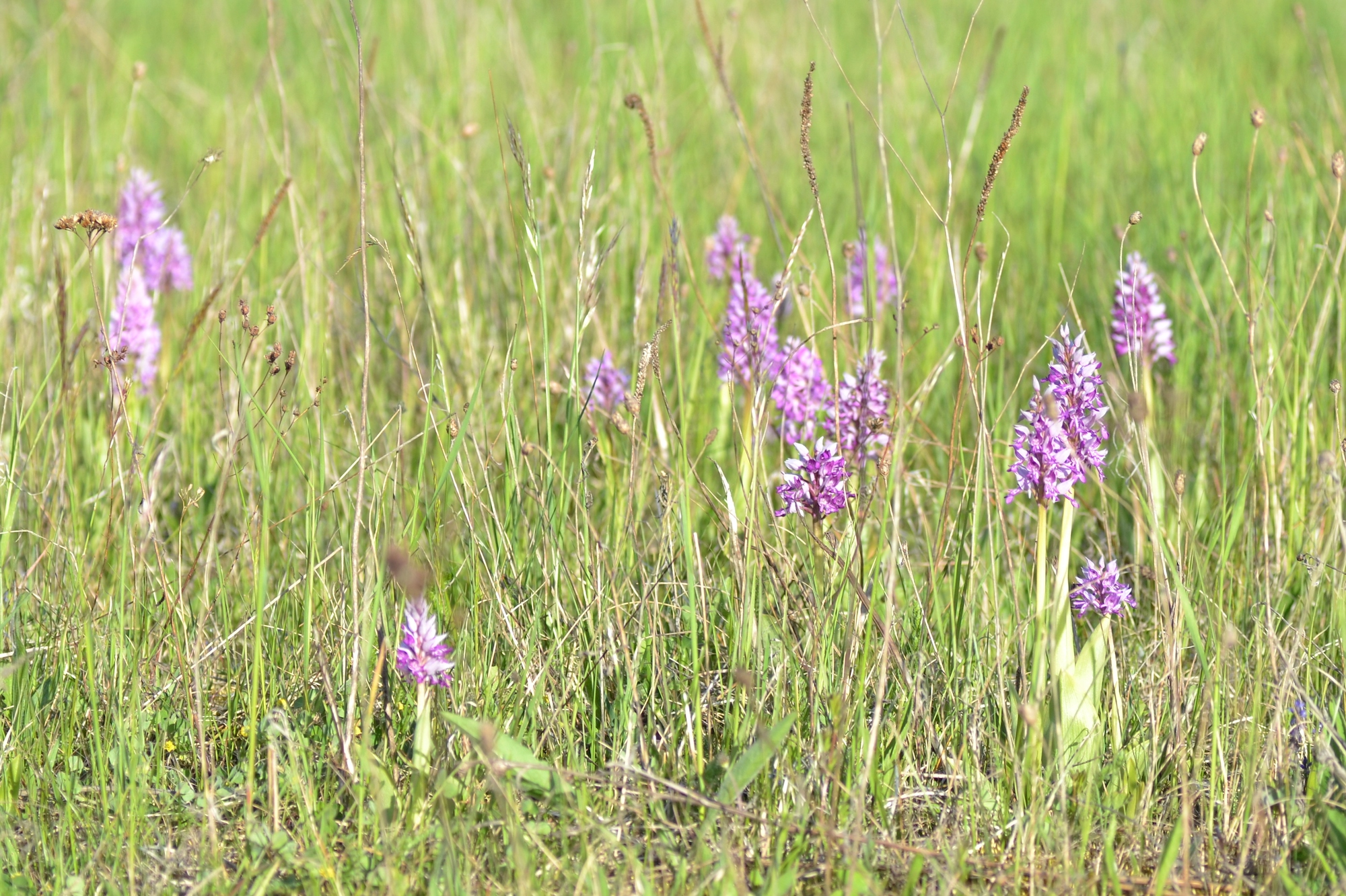 Orchids in Saaremaa are one of the reasons why nature tourist travel to Saaremaa in spring and in summer
