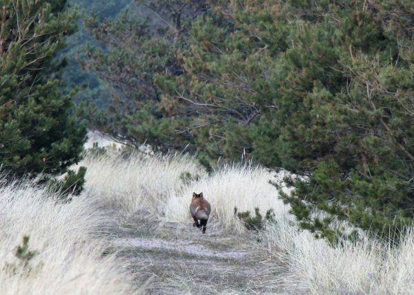 Rebane jookseb metsarajal