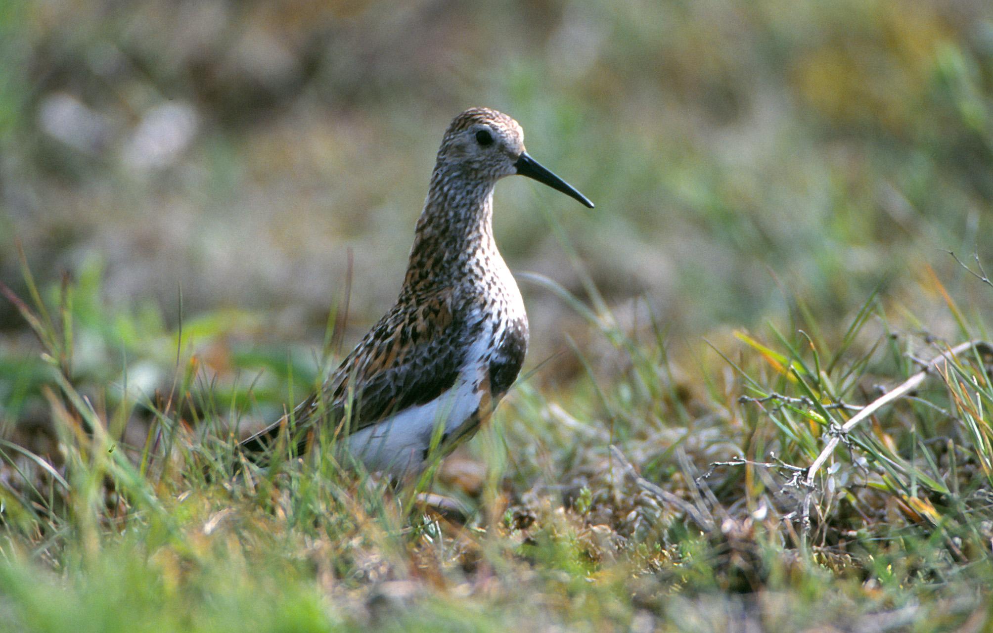 Linnuvaatlus Saaremaal - niidurüdi
