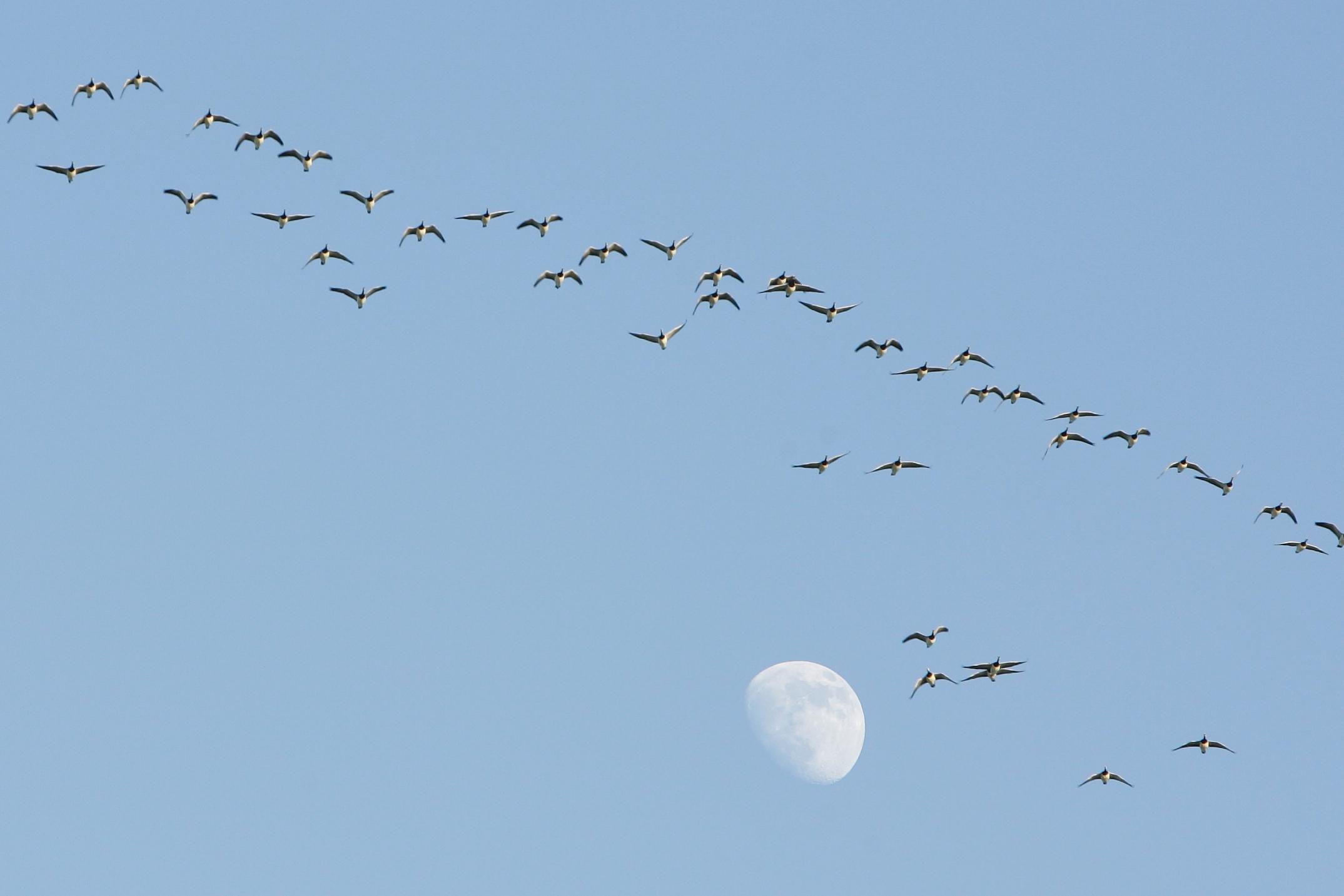 Linnuvaatlus Saaremaal - valgepõsklaged